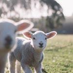 Lammetjesdagen per provincie op een rijtje
